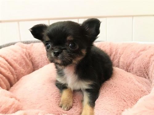 チワワ(ロング)の子犬(ID:1239211196)の2枚目の写真/更新日:2018-06-03