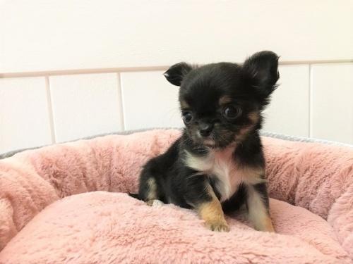 チワワ(ロング)の子犬(ID:1239211196)の3枚目の写真/更新日:2018-06-03