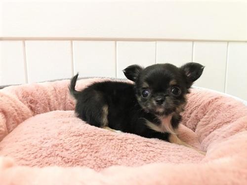 チワワ(ロング)の子犬(ID:1239211196)の4枚目の写真/更新日:2018-06-03