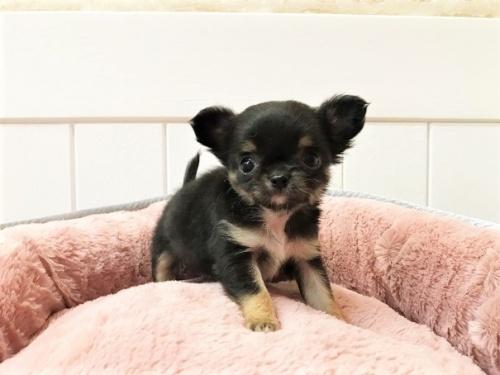 チワワ(ロング)の子犬(ID:1239211196)の5枚目の写真/更新日:2018-06-03