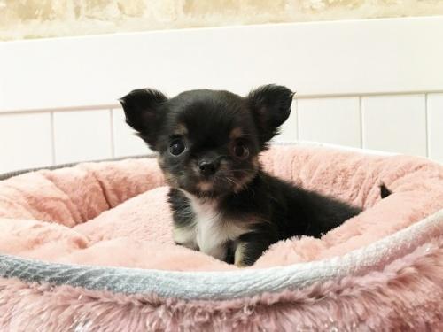 チワワ(ロング)の子犬(ID:1239211196)の7枚目の写真/更新日:2018-06-03