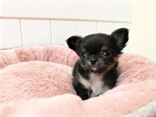 チワワ(ロング)の子犬(ID:1239211196)の9枚目の写真/更新日:2018-06-03