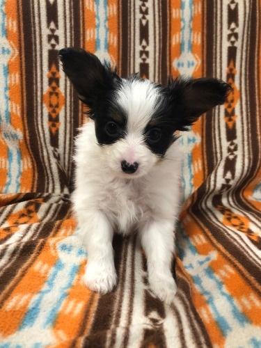 パピヨンの子犬(ID:1239611010)の1枚目の写真/更新日:2019-11-18
