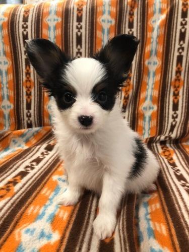 パピヨンの子犬(ID:1239611012)の1枚目の写真/更新日:2019-12-11