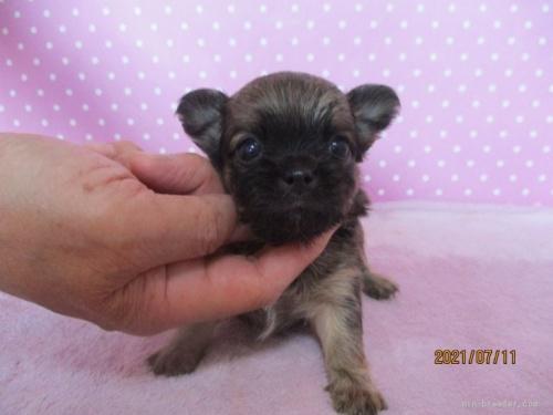 チワワ(ロング)の子犬(ID:1239911094)の3枚目の写真/更新日:2021-04-29