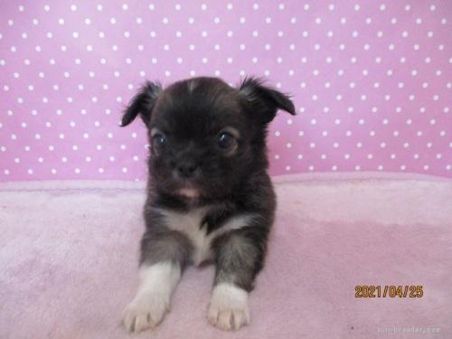 チワワ(ロング)の子犬(ID:1239911095)の1枚目の写真/更新日:2019-10-08
