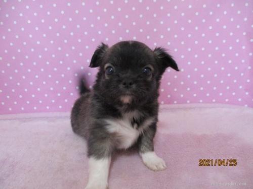 チワワ(ロング)の子犬(ID:1239911095)の2枚目の写真/更新日:2020-06-03