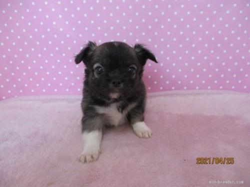 チワワ(ロング)の子犬(ID:1239911095)の3枚目の写真/更新日:2021-04-29