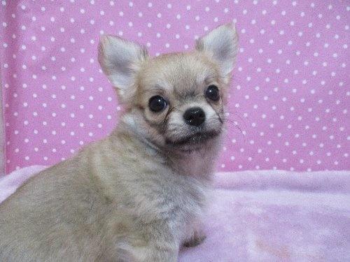 チワワ(ロング)の子犬(ID:1239911096)の1枚目の写真/更新日:2019-11-08