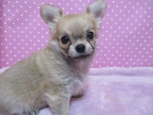 チワワ(ロング)の子犬(ID:1239911096)の2枚目の写真/更新日:2019-11-08