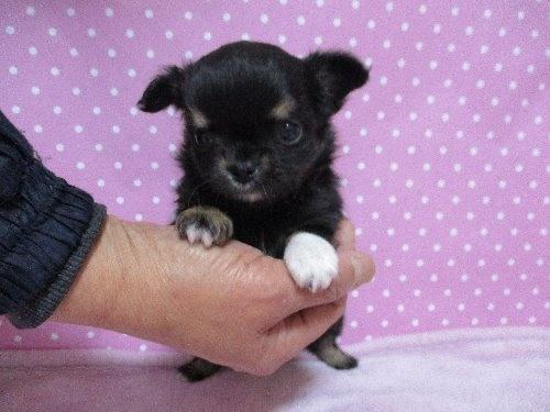 チワワ(ロング)の子犬(ID:1239911097)の2枚目の写真/更新日:2019-10-19
