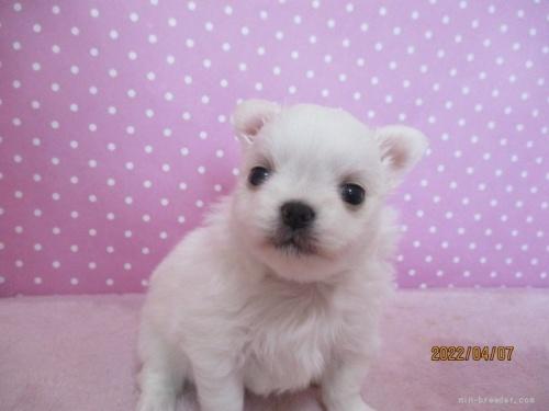 チワワ(ロング)の子犬(ID:1239911098)の1枚目の写真/更新日:2019-11-12