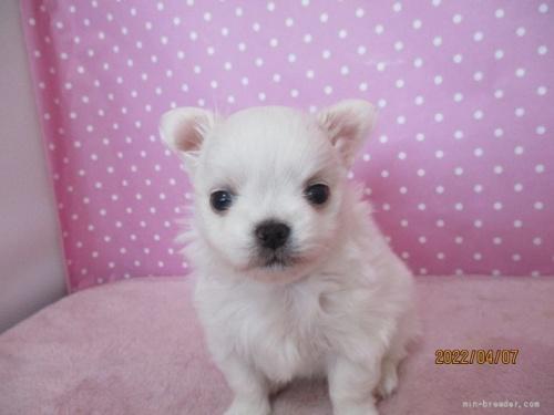 チワワ(ロング)の子犬(ID:1239911098)の2枚目の写真/更新日:2020-06-24