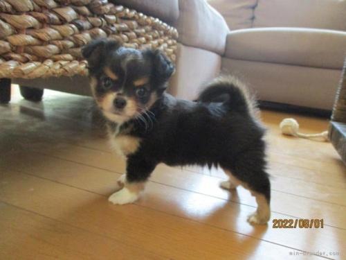 チワワ(ロング)の子犬(ID:1239911099)の2枚目の写真/更新日:2019-11-13
