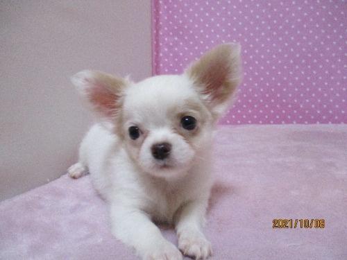 チワワ(ロング)の子犬(ID:1239911100)の1枚目の写真/更新日:2019-10-08