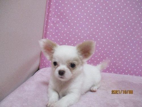 チワワ(ロング)の子犬(ID:1239911100)の2枚目の写真/更新日:2020-06-24