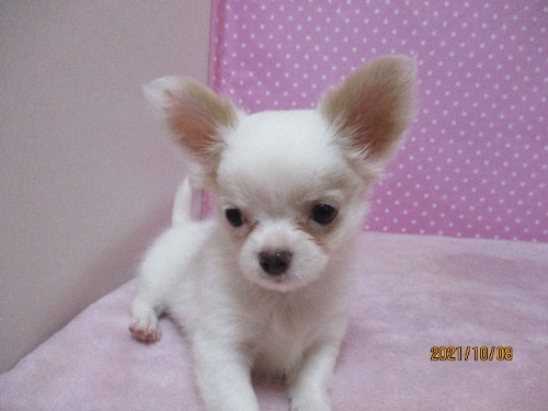 チワワ(ロング)の子犬(ID:1239911100)の3枚目の写真/更新日:2021-10-08