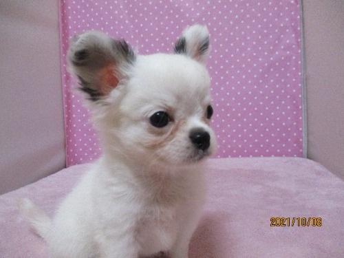 チワワ(ロング)の子犬(ID:1239911101)の2枚目の写真/更新日:2021-10-08
