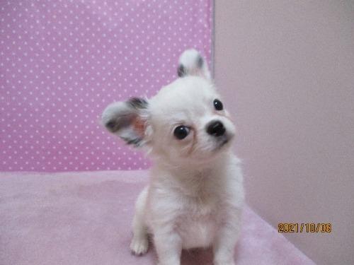 チワワ(ロング)の子犬(ID:1239911101)の3枚目の写真/更新日:2021-10-08