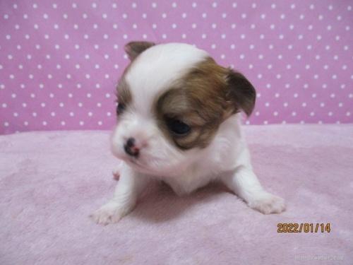 チワワ(ロング)の子犬(ID:1239911108)の3枚目の写真/更新日:2020-08-10