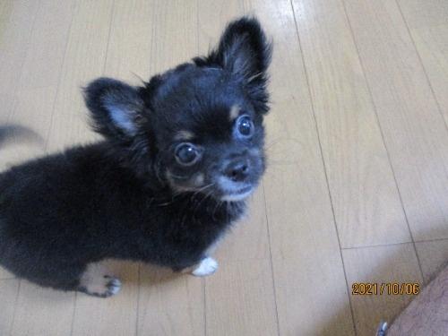 チワワ(ロング)の子犬(ID:1239911151)の1枚目の写真/更新日:2021-06-06