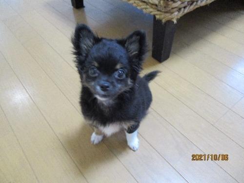 チワワ(ロング)の子犬(ID:1239911151)の2枚目の写真/更新日:2021-06-06