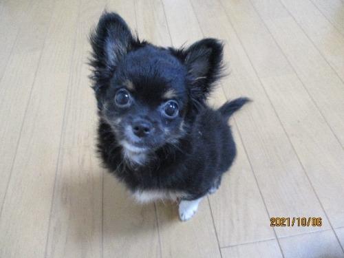 チワワ(ロング)の子犬(ID:1239911151)の3枚目の写真/更新日:2021-06-06