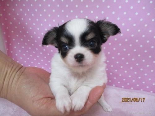 チワワ(ロング)の子犬(ID:1239911152)の1枚目の写真/更新日:2021-09-19