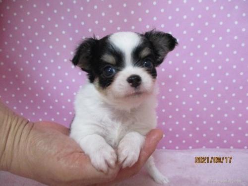 チワワ(ロング)の子犬(ID:1239911152)の2枚目の写真/更新日:2021-09-19