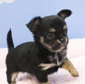 チワワ(ロング)の子犬(ID:1240211138)の1枚目の写真/更新日:2017-01-11