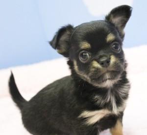 チワワ(ロング)の子犬(ID:1240211138)の2枚目の写真/更新日:2017-01-11