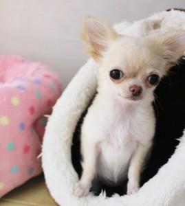 チワワ(ロング)の子犬(ID:1240211143)の1枚目の写真/更新日:2016-12-27