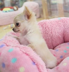 チワワ(ロング)の子犬(ID:1240211143)の3枚目の写真/更新日:2017-03-17