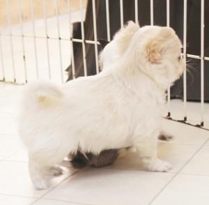 チワワ(ロング)の子犬(ID:1240211145)の2枚目の写真/更新日:2017-02-10