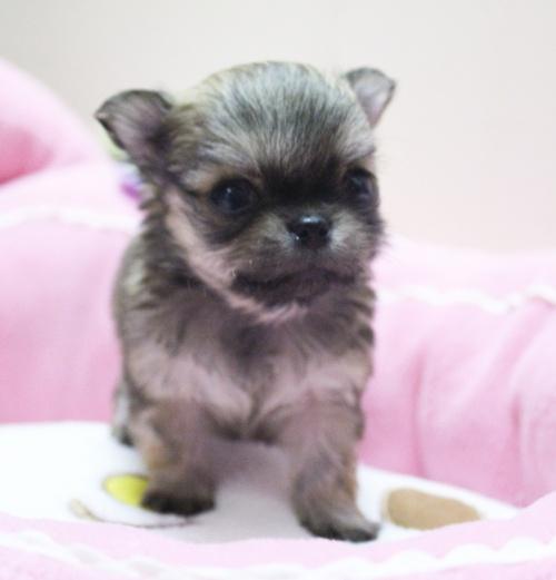 チワワ(ロング)の子犬(ID:1240211147)の1枚目の写真/更新日:2017-02-24
