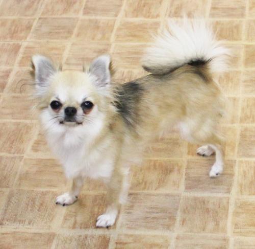チワワ(ロング)の子犬(ID:1240211147)の2枚目の写真/更新日:2017-02-24