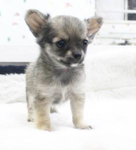 チワワ(ロング)の子犬(ID:1240211148)の2枚目の写真/更新日:2017-03-13