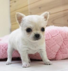 チワワ(ロング)の子犬(ID:1240211149)の1枚目の写真/更新日:2017-03-17