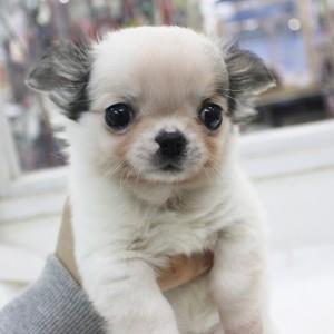チワワ(ロング)の子犬(ID:1240211150)の1枚目の写真/更新日:2017-03-21