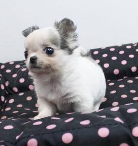 チワワ(ロング)の子犬(ID:1240211150)の3枚目の写真/更新日:2017-03-21