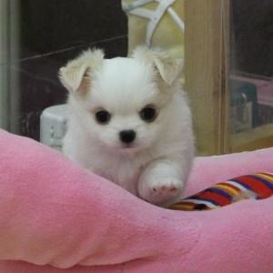 チワワ(ロング)の子犬(ID:1240211151)の1枚目の写真/更新日:2017-04-26
