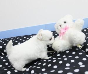 チワワ(ロング)の子犬(ID:1240211151)の2枚目の写真/更新日:2017-04-09