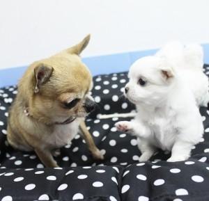 チワワ(ロング)の子犬(ID:1240211151)の4枚目の写真/更新日:2017-04-09