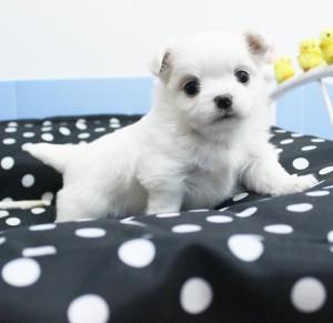 チワワ(ロング)の子犬(ID:1240211151)の5枚目の写真/更新日:2017-04-09