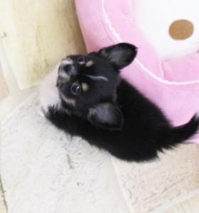 チワワ(ロング)の子犬(ID:1240211157)の1枚目の写真/更新日:2017-05-08