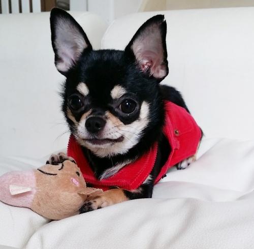 チワワ(ロング)の子犬(ID:1240211157)の2枚目の写真/更新日:2017-05-08