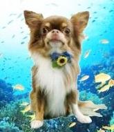 チワワ(ロング)の子犬(ID:1240211157)の3枚目の写真/更新日:2017-05-08
