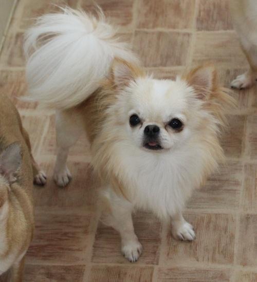 チワワ(ロング)の子犬(ID:1240211158)の4枚目の写真/更新日:2017-05-08