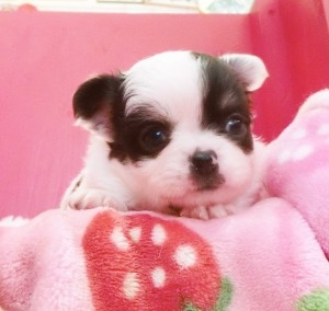 チワワ(ロング)の子犬(ID:1240211161)の1枚目の写真/更新日:2017-05-16