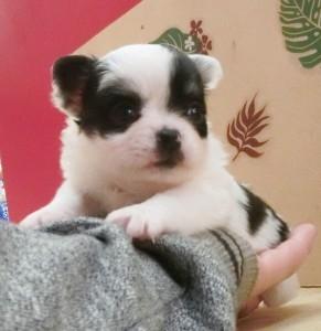 チワワ(ロング)の子犬(ID:1240211161)の2枚目の写真/更新日:2017-05-16